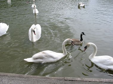 Swans on Llandrindod Wells Lake